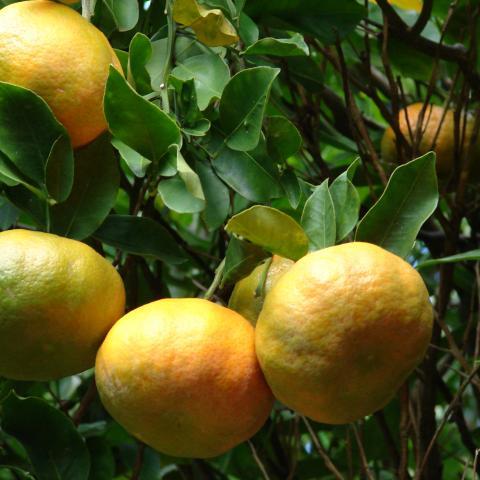 Mandarina - Naranja